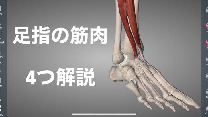 つま先を反らす4つの筋肉を解剖学的に解説してみた