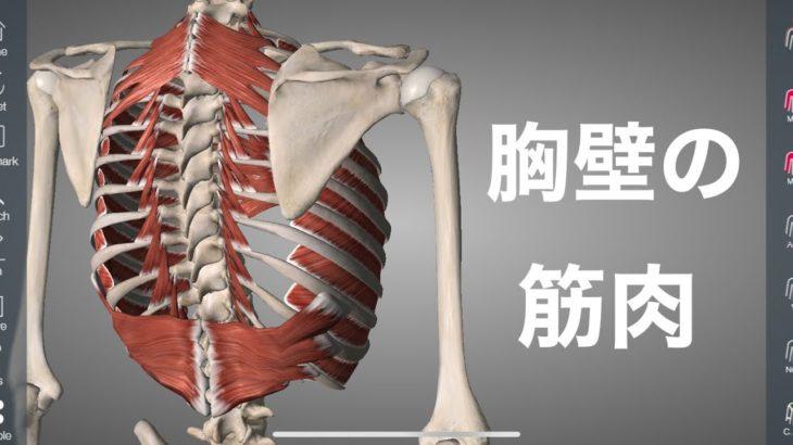 胸壁にある呼吸の筋肉を解説してみた