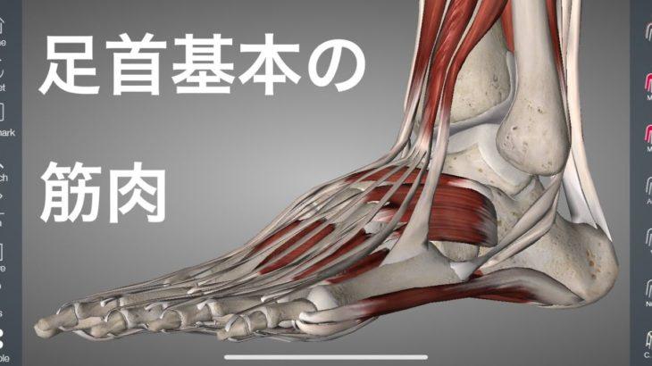 足首の筋肉の基本を解説してみた