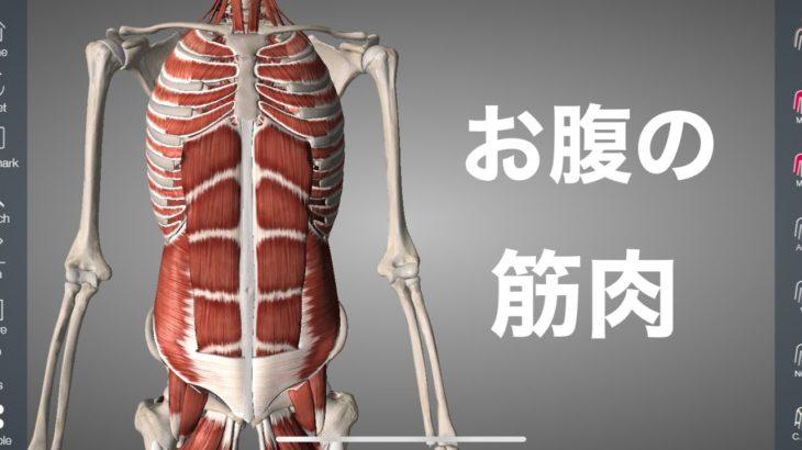 お腹にある体幹の筋肉を解説してみた