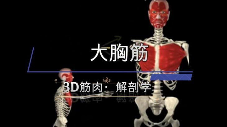 【UPDATED】大胸筋【3D筋肉・解剖学】胸の大きく厚いアウターマッスル!効果的に鍛えてバストアップや魅せる胸板をボディメイク!