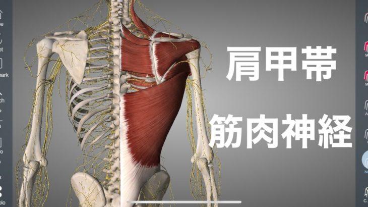 肩甲帯の筋肉を支配してる神経を解説してみた