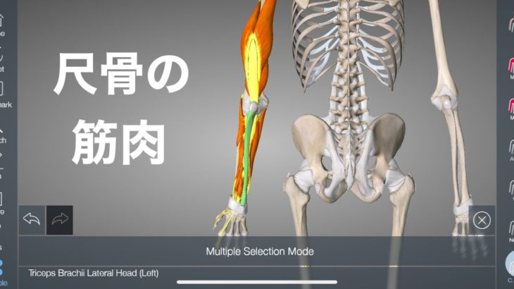 尺骨に付着する13個の筋肉を解説してみた