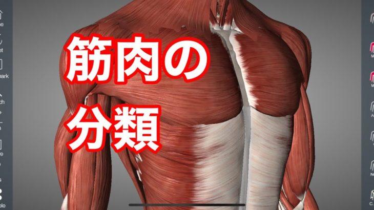筋肉の解剖学:形で分類してみた