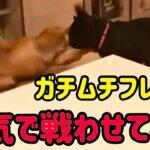 【闘犬】筋肉バキバキ犬同士をガチで戦わせたら大乱闘で脳天かち割れた