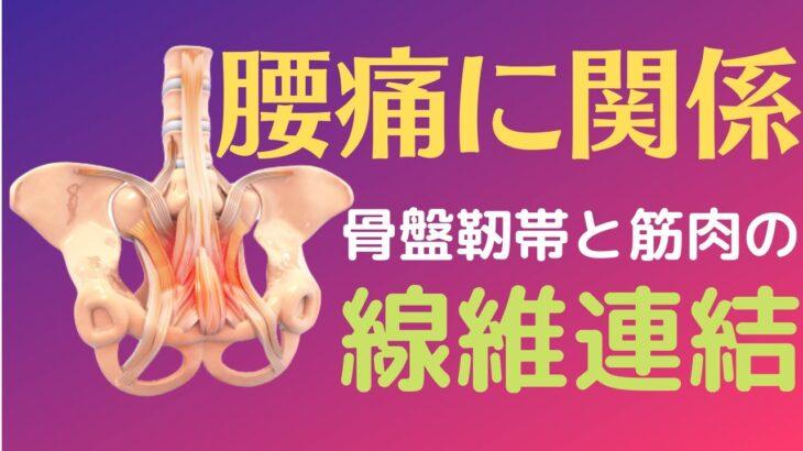 腰痛に注目すべき骨盤靭帯&筋肉の線維連結!