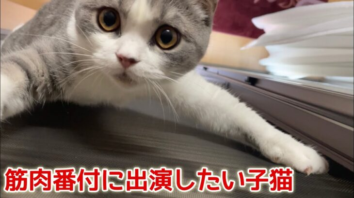 網戸をよじ登り筋肉をアピールする子猫がこちらです…笑