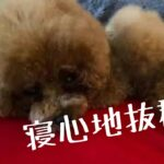 【みんな大好き!筋肉ベッド‼️】#トイプードル生活#宇野昌磨#宇野樹#Uno1ワンチャンネル
